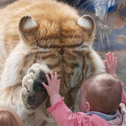 Bambina abbraccia tigre