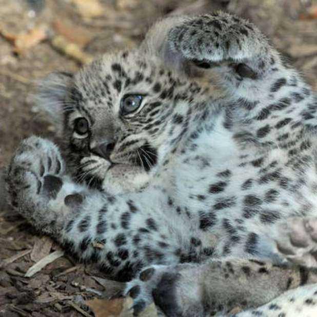 Leopardo SIC