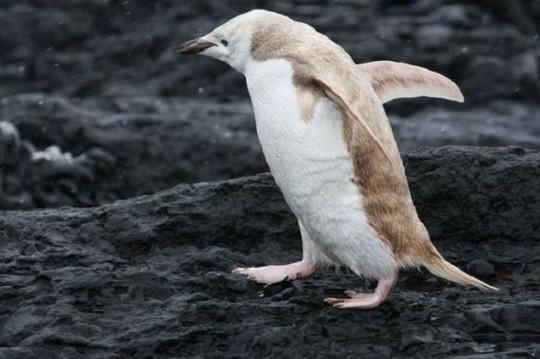 Pinguino biondo