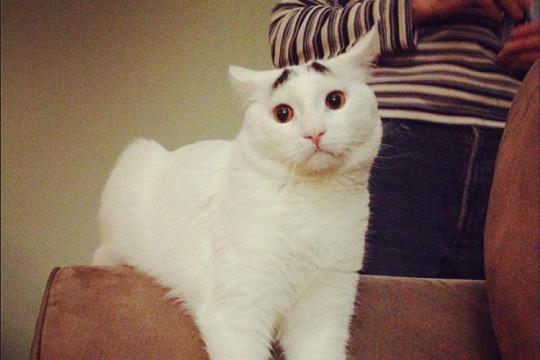 Gatto sopracciglia