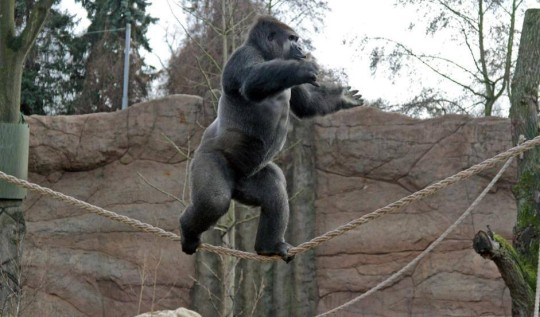 Gorilla Funambolo