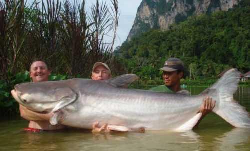 Pesce gatto grande