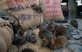 Di manhattan , insieme all'upper west side, sono invasi dai topi