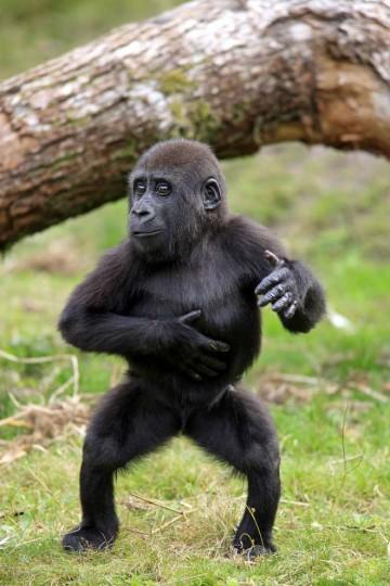 Gorilla ballerino