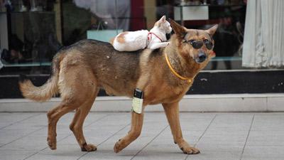 Gatto cavalca cane