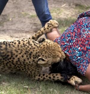 Moglie aggredita dal ghepardo