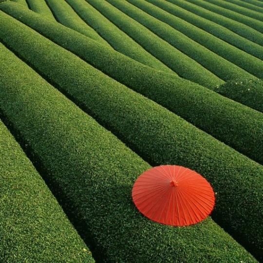 Campi da tè, Cina
