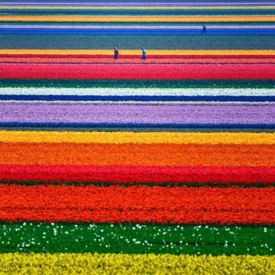 Campo di tulipani, Paesi Bassi