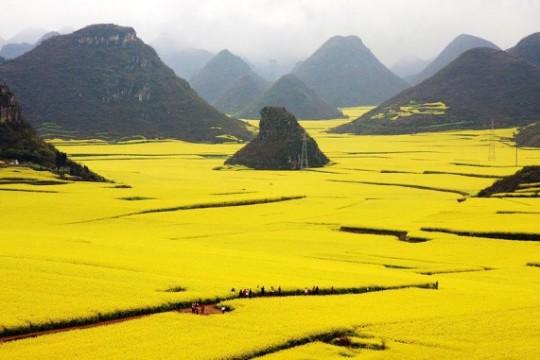 Canola, Cina