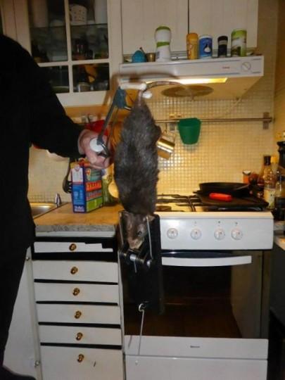 Cattura del ratto di 40 cm