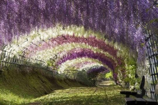 Wisteria Tunnel, Giappone