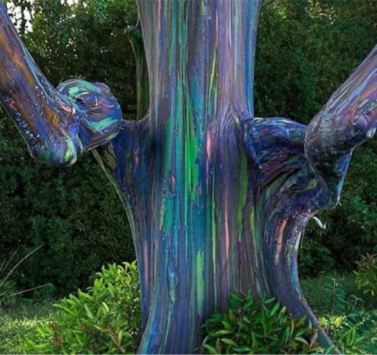 N. 11 Eucalipto arcobaleno