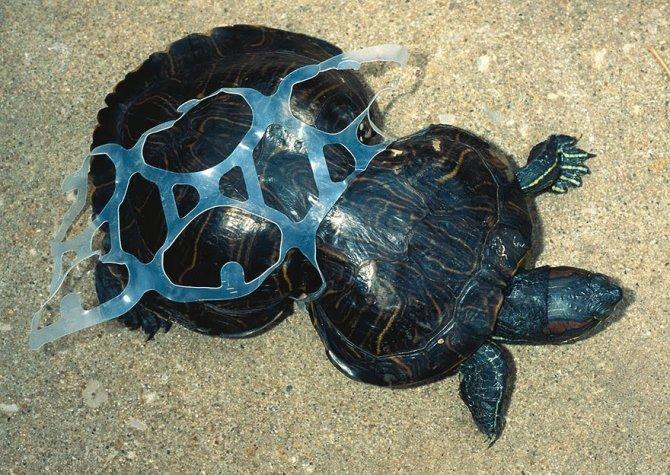 Queste tartarughe che sono cresciute intrappolate dentro rifiuti di plastica gettati in mare