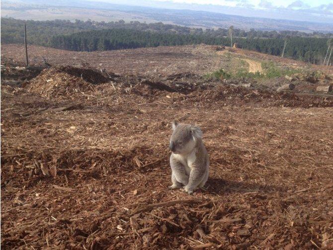 Questo koala che ha perso la sua casa a causa del disboscamento