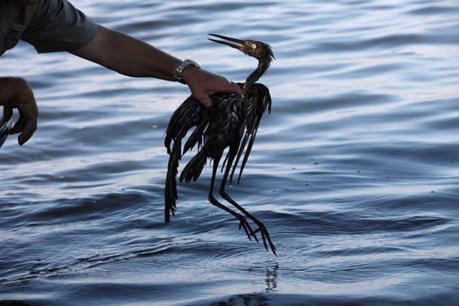 Questo uccello moribondo, che è caduto nel petrolio
