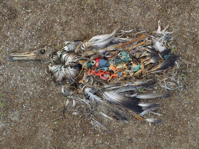 Questo albatros che è morto per aver ingerito un'eccessiva dose di plastica nelle Midway Islands (Nord Pacifico)