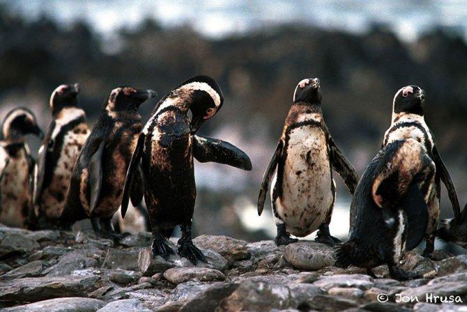 Questi pinguini che sono pieni di petrolio