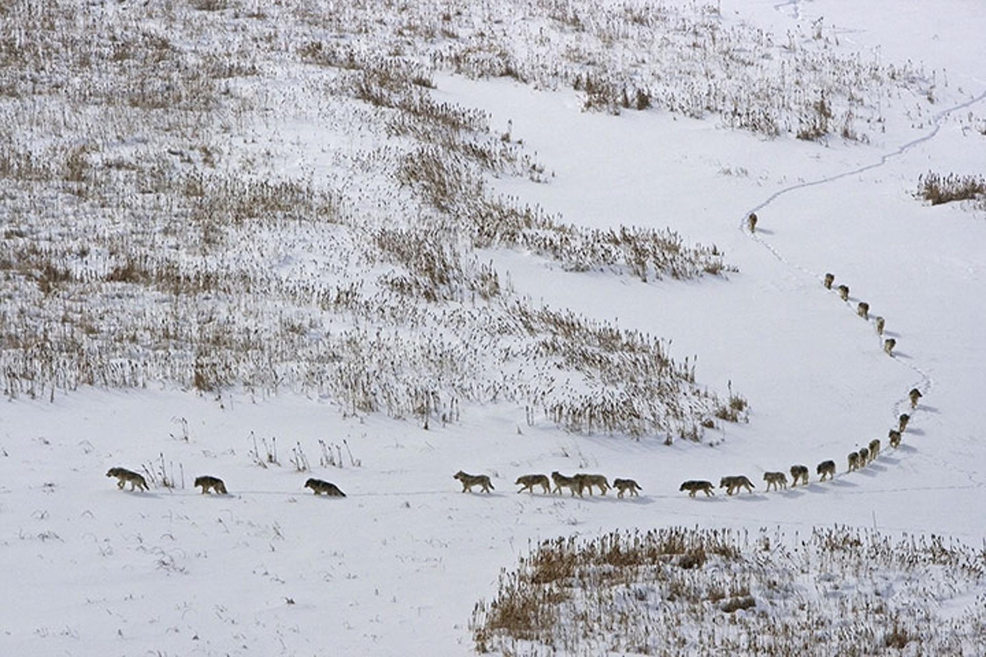 Lupi sulla neve