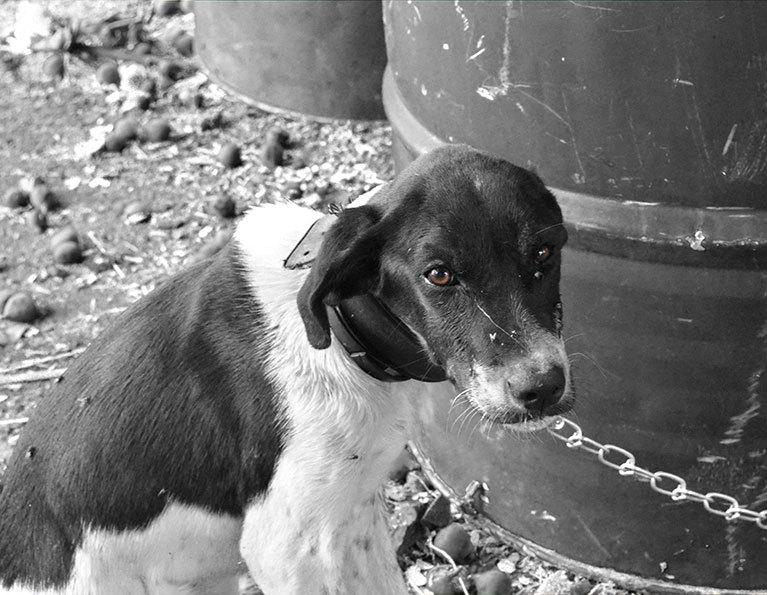 Cane legato multa