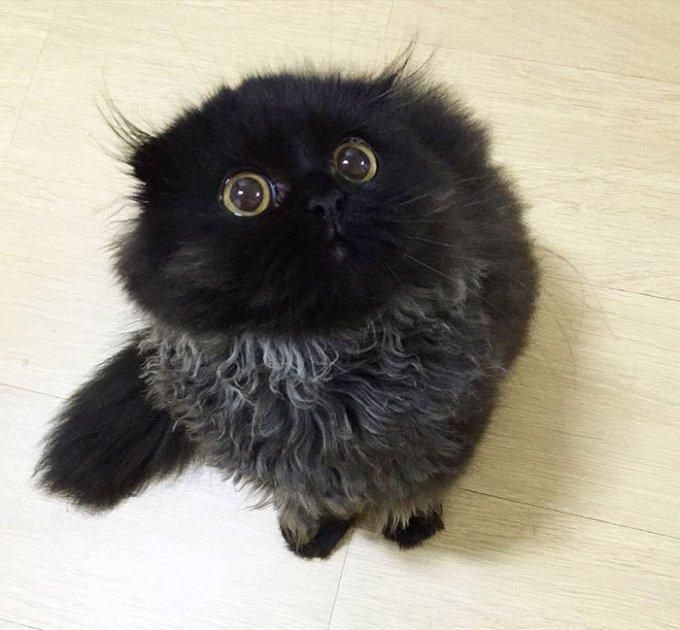 Il gatto con gli occhioni giganti gimo è nuovo idolo di